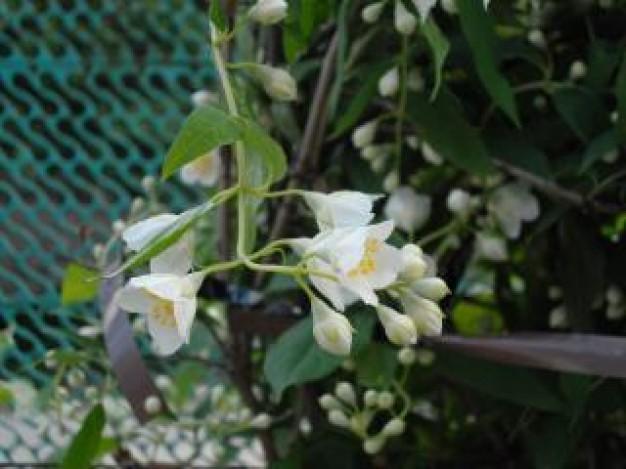 jasmine--flower_19-117506