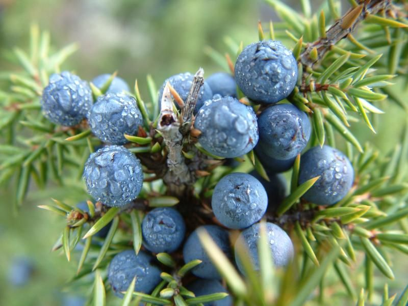 juniper-berry7