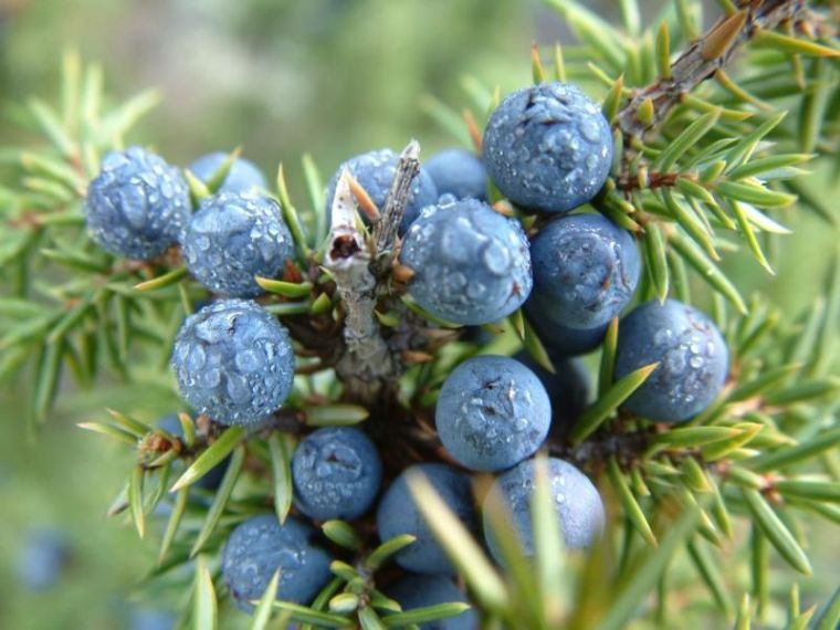 juniper-berry7
