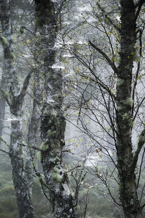 birch-trees-webs-abernethy-forest-scotland-caledonian-87287069